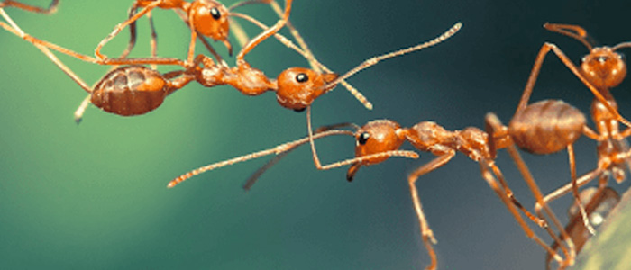 Ant Control Henley Beach