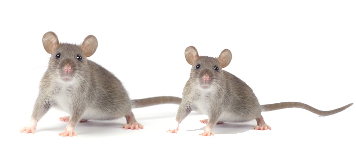 Rodent Control Henley Beach